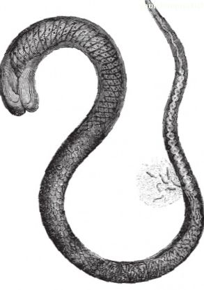 Trichinae and whipworm